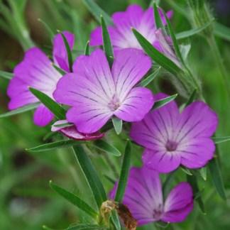 fiori rosa estate agrostemma