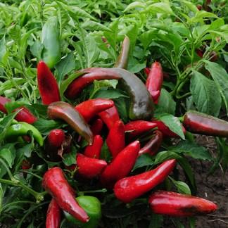 pueblo peperoncini messicani piccanti semi