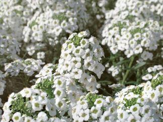 fiori alisso bianco semi online