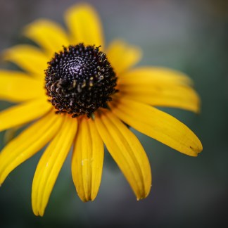 rudbekia margherita gialla semi online