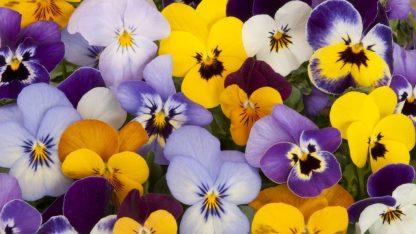 viola del pensiero semi online fiori eduli