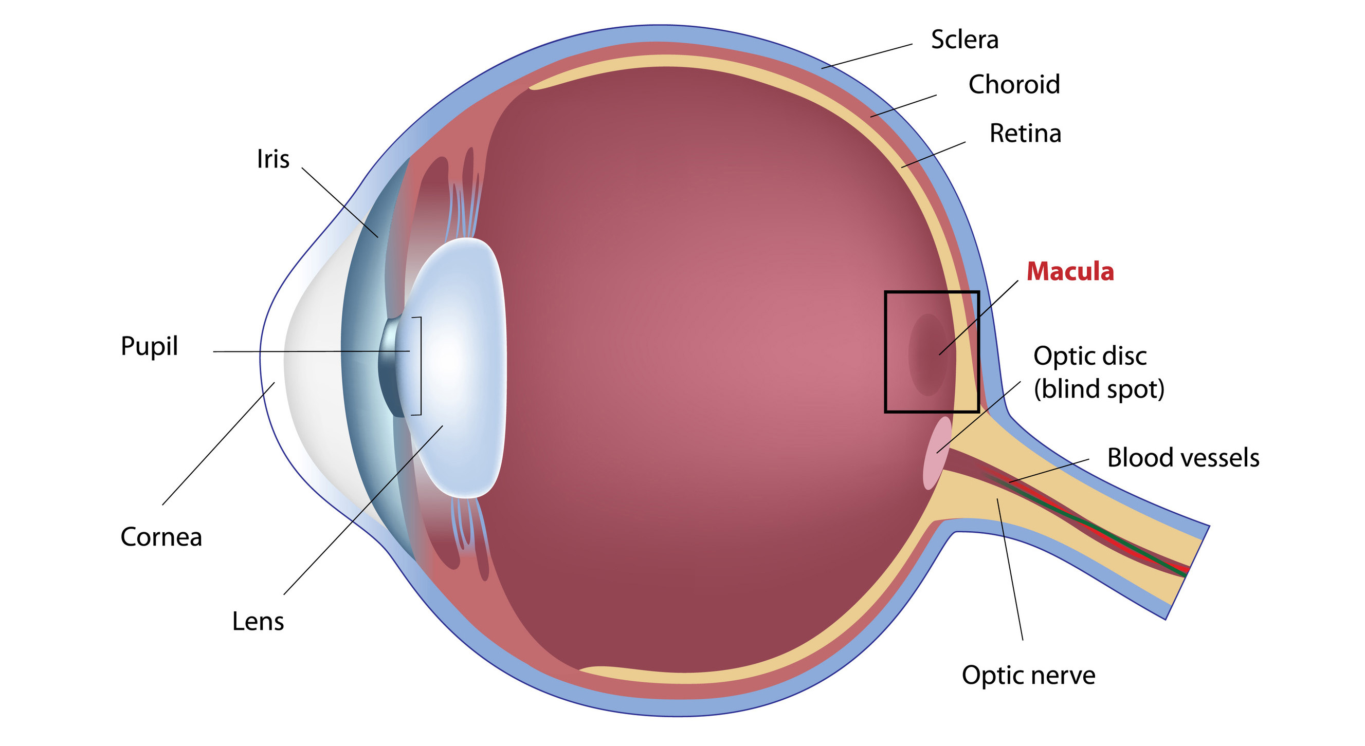 Eye Structures