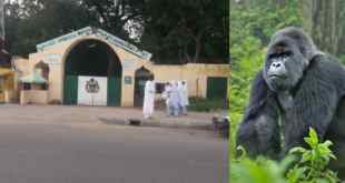 Gorilla Reportedly Swallows N6.8M In Kano