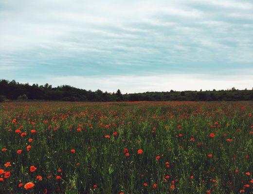 Makové pole - Uhříněves