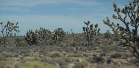 Joshua Trees, Mojave Desert, California