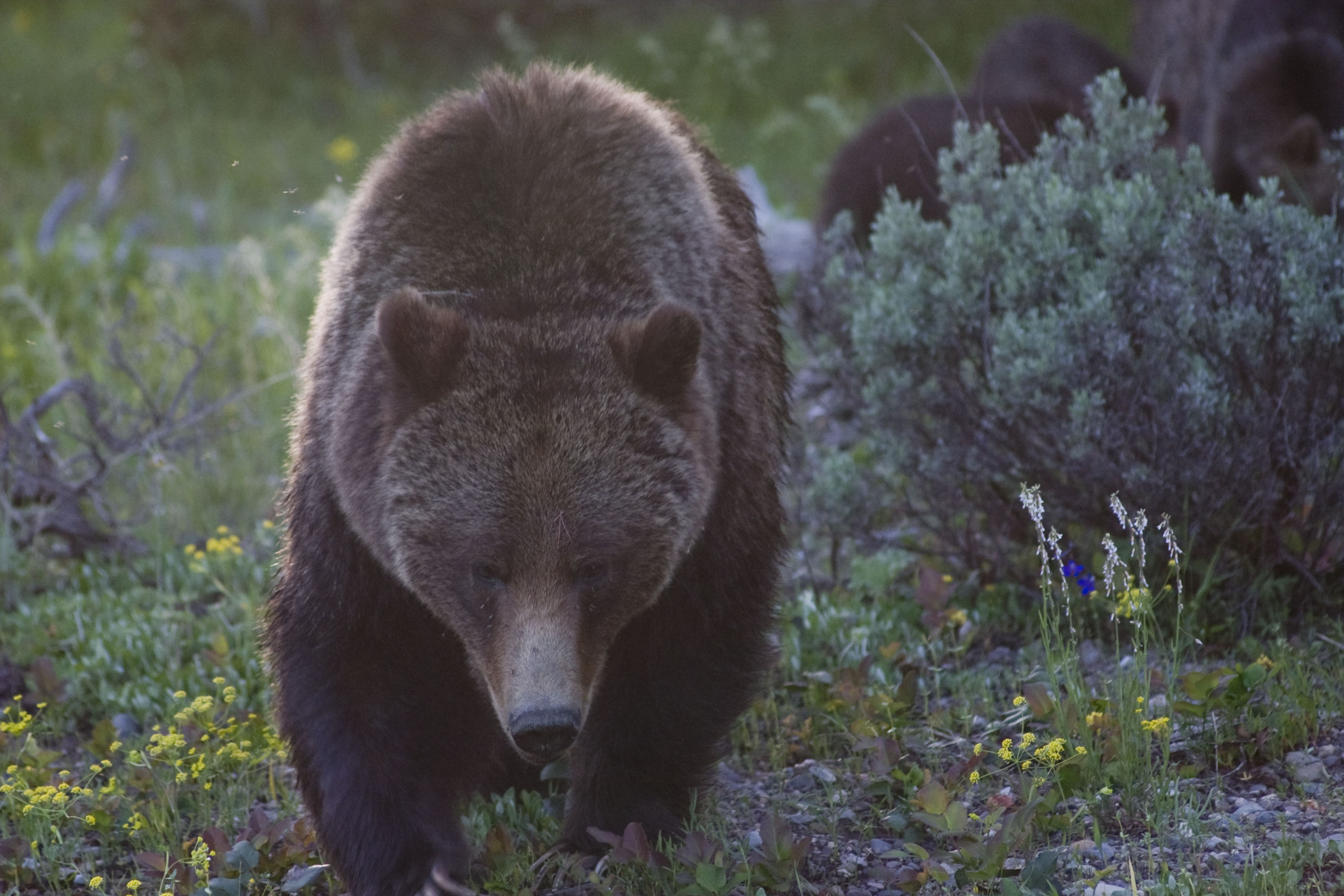 Photo Of The Day Grizzly Bear 399