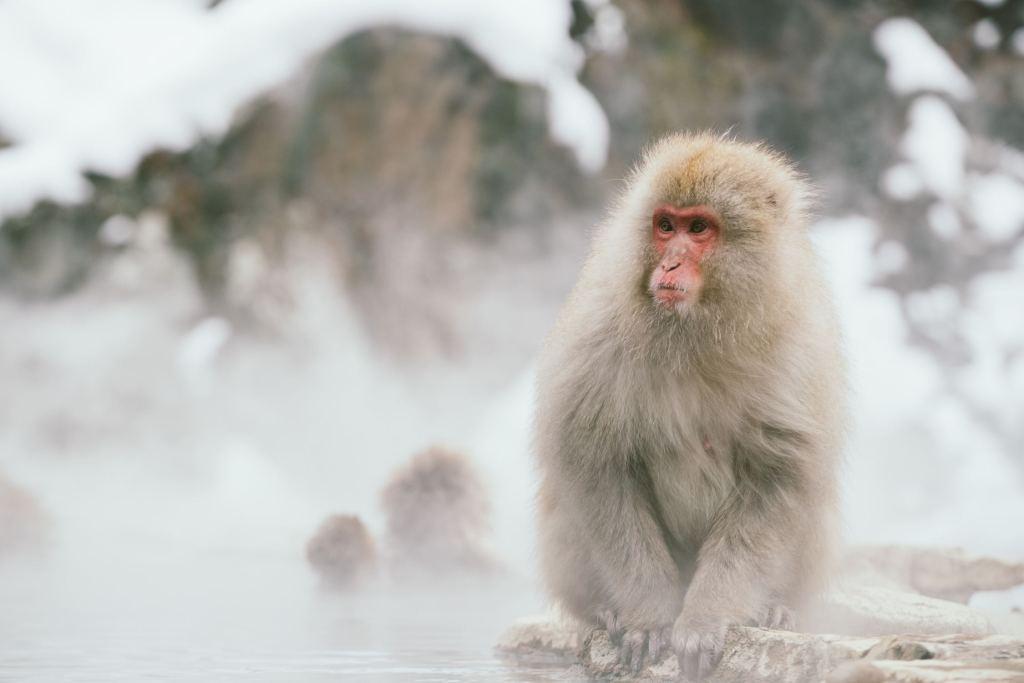 monkey near hot spring in japan