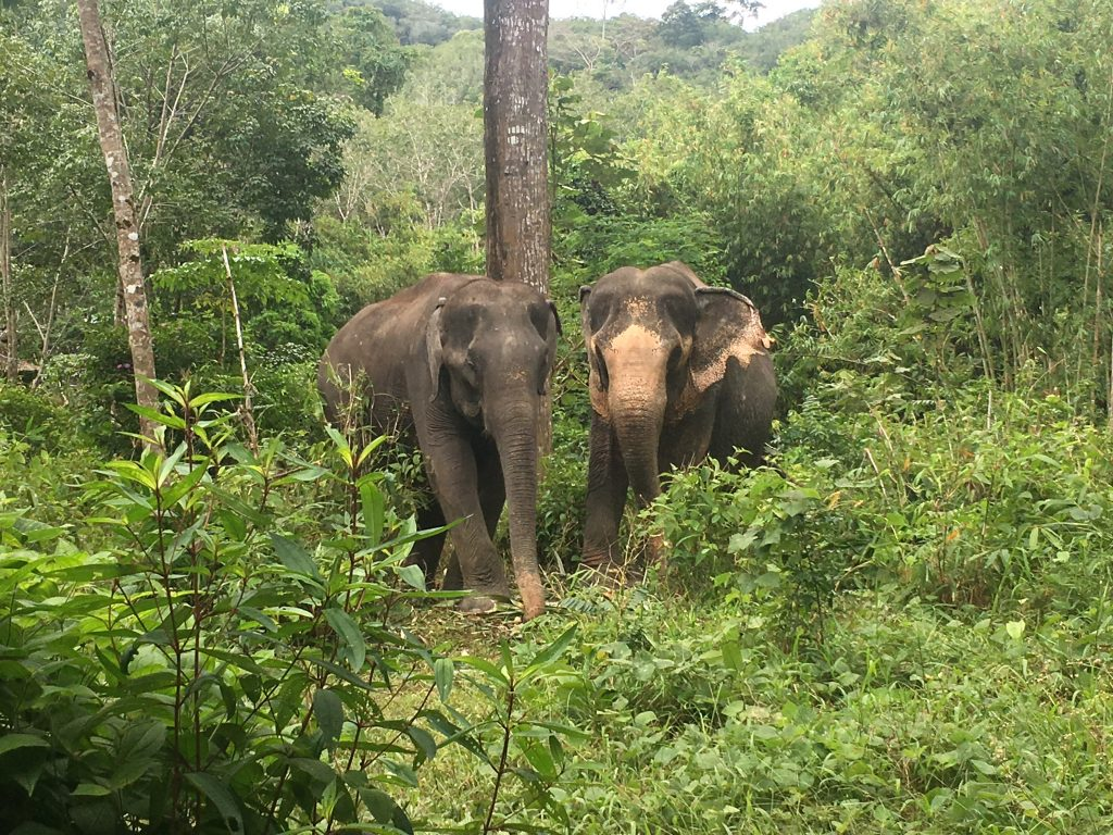 Two elephants walking together at Phuket Elephant Sanctuary in Phuket, Thailand