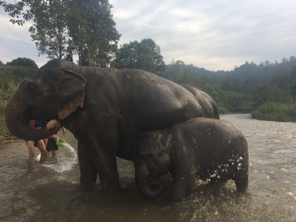 Baby elephant and adult bathing in river Wit and Wishes: Chiang Mai Mountain Sanctuary