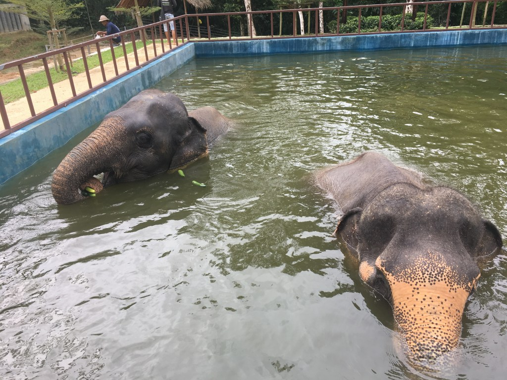 Two elephants enjoying leisure time in pool at Phuket Elephant Sanctuary in Phuket, Thailand