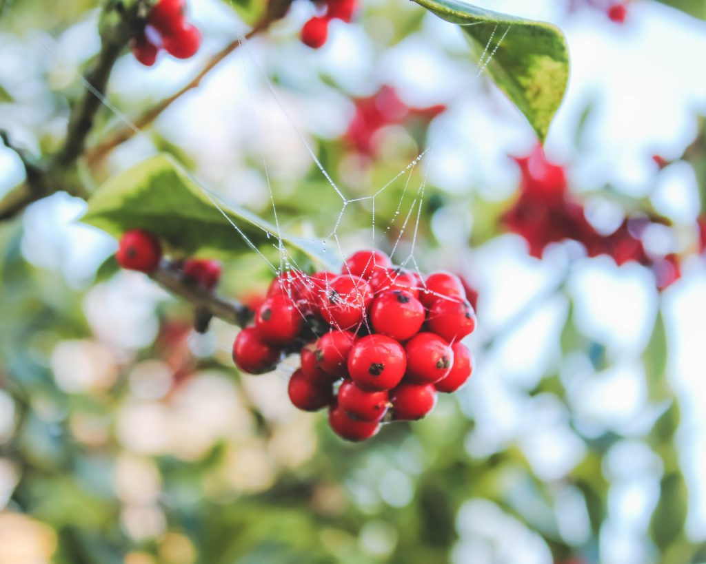 berries with spider webs in fall