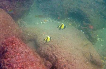 Angel fish underwater snorkelling