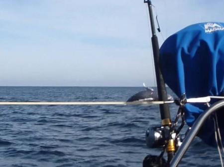 Breaching baby whale behind Brio
