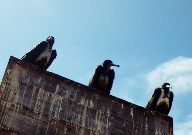 Three Wise Men ~ Frigate Birds in Isla Isabela