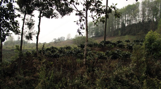 Coffee growing in Honduras
