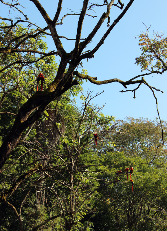Scarlet macaws showing off