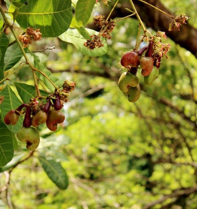Cashews growing -- don't eat them!