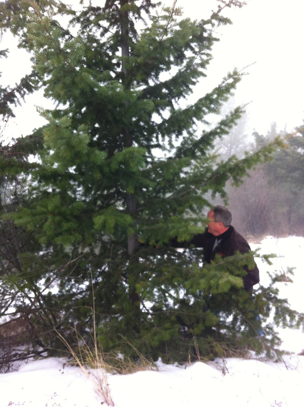 Cutting down a christmas tree