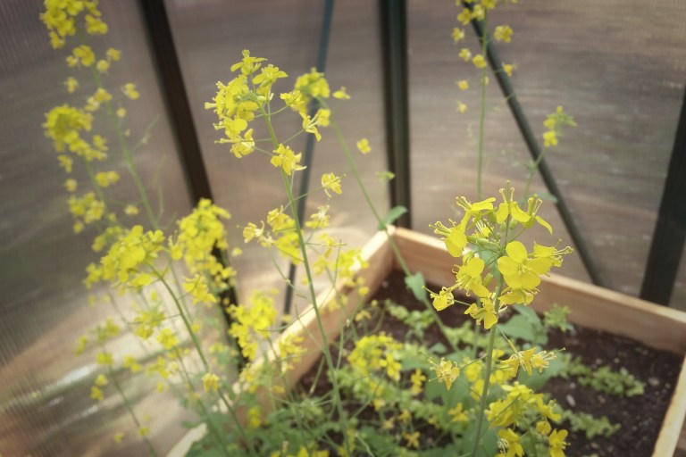 My broccoli flowers for the bees!