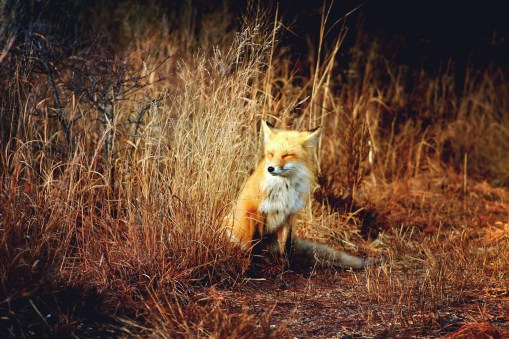 """Erin Kuhn, """"Fox In The Wind,"""" Archival print, 8"""" x 10"""" -- $125 (matted and framed)"""