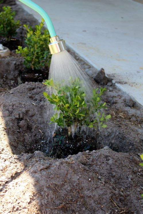Watering your plants while planting them and before covering them with soil