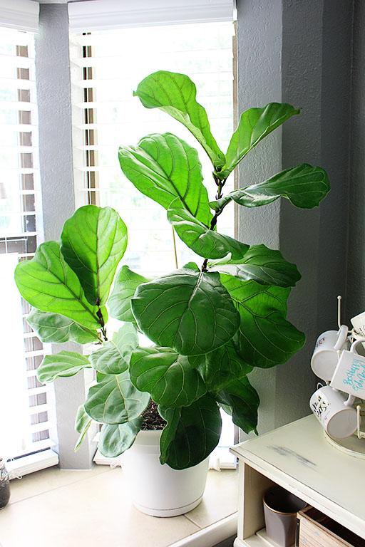 Fiddle Leaf Fig in Kitchen area