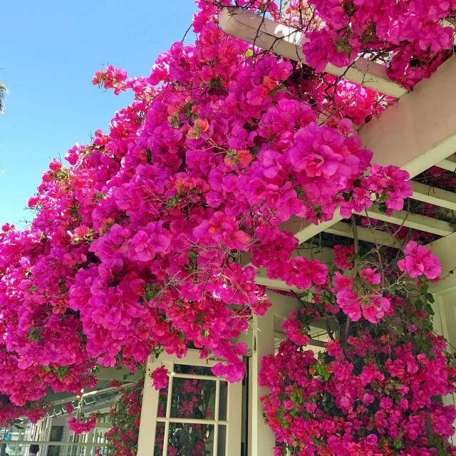 The prettiest spot for lunch bougainvillea theshorehotel santamonica happyfriday