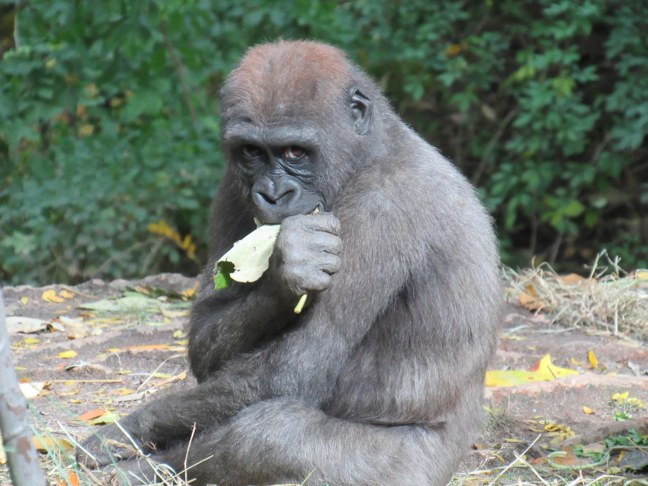 Read more about the article Bronx Zoo: The Gorillas