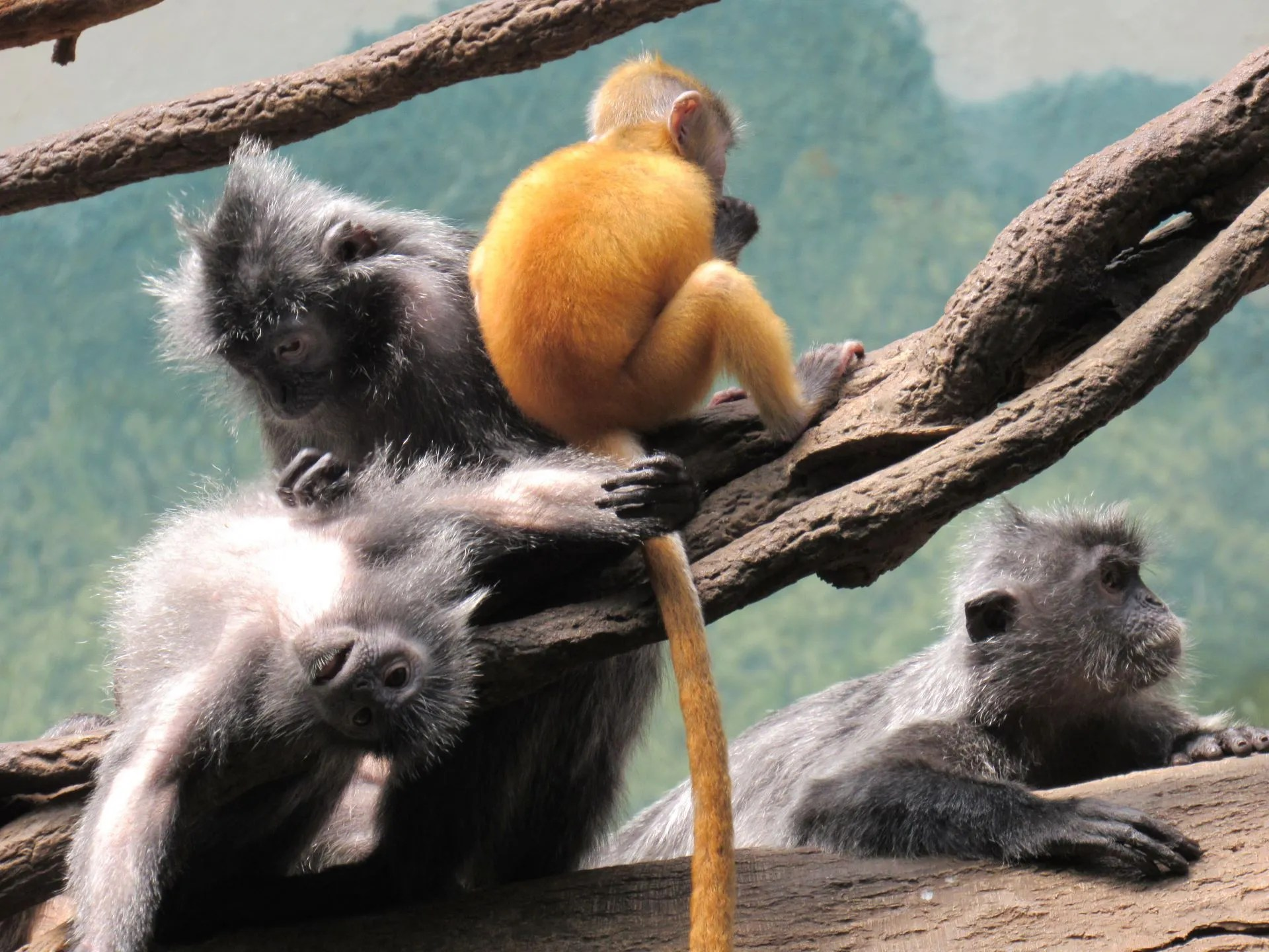 You are currently viewing Bronx Zoo: Jungle World Langurs Pt. 1