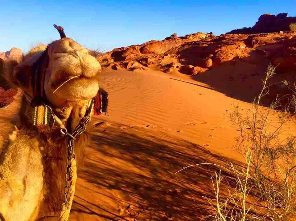 Wadi Rum Jordan Camel