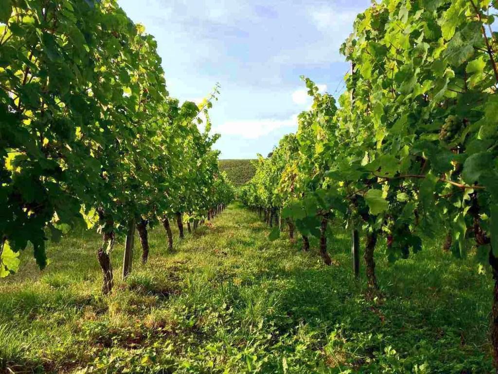 Vineyards at Eltville-Martinsthal