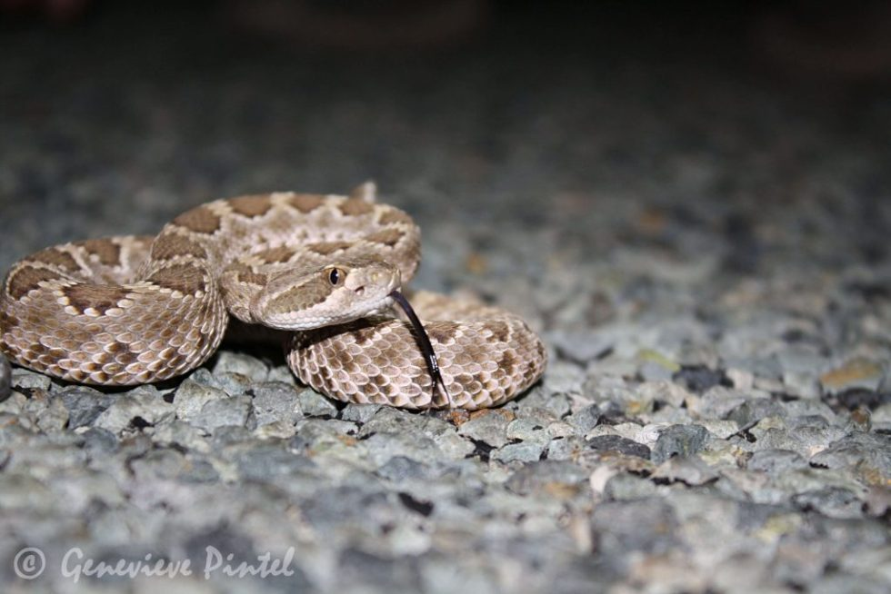 Rattlesnake with its tongue out, sitting on pebble