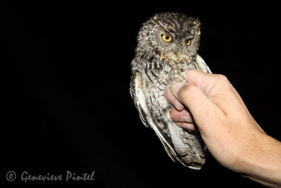 Small owl perched on a hand against a black background