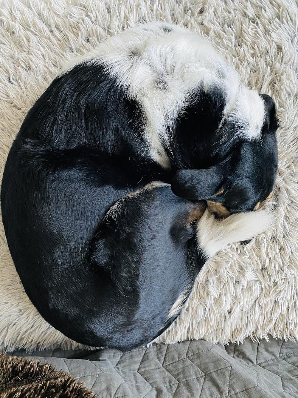 Aussie Labrador