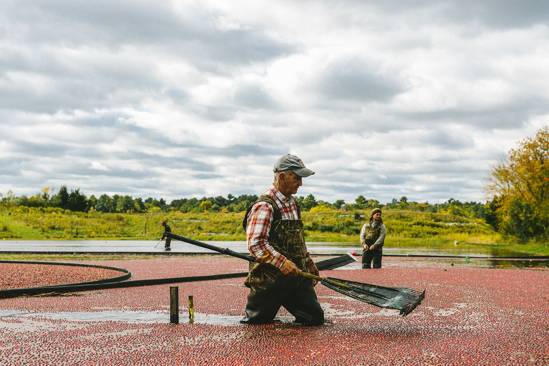 A Massachusetts Cranberry Harvest