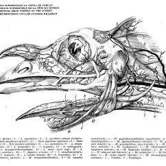 Bird Of Internal Organ Diagram 1984 Chevy Truck Alternator Wiring Avian Anatomy Repair Scheme