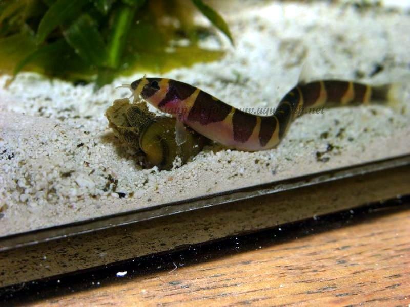 Freshwater Tropical Fish Profiles: Bottom Feeders (5/6)