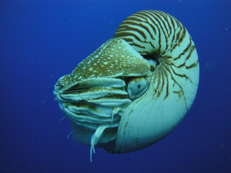 หอยงวงช้างนอติลุสครับ สังเกตตามันที่มีรูเล็กๆเหมือนรูเข็ม