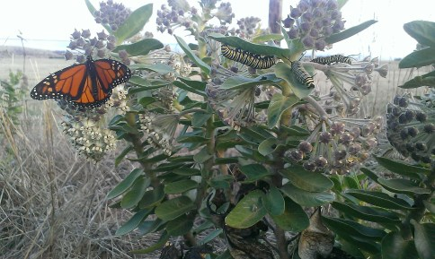 A Monarch butterfly and caterpillars on a milkweed plant
