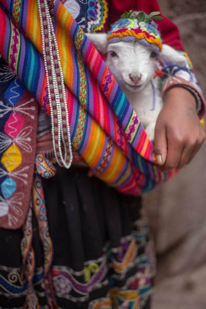 Alpaca being carried on colorful satchel