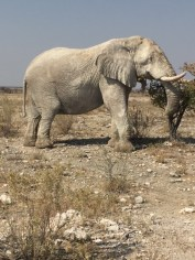 "Ghostly elephant in Etosha National Park. As you can see, it's very dry – they're desperate for a good rainfall, which has not happened for a few years. The elephants rolling in the ""white dust"" appear ghostly."