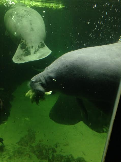 manatee 2 lunch
