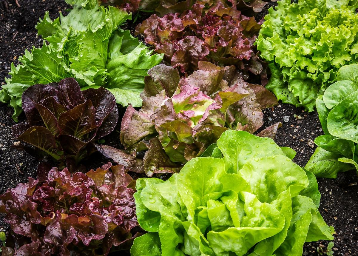Red lettuce, wonderful facts about red lettuce