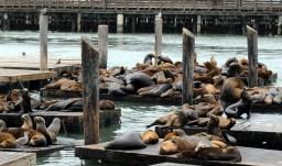 Foki i lwy moskie wylegujące się nad Zatoką
