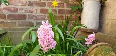 hyacint11
