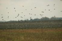 Vogels in het veld