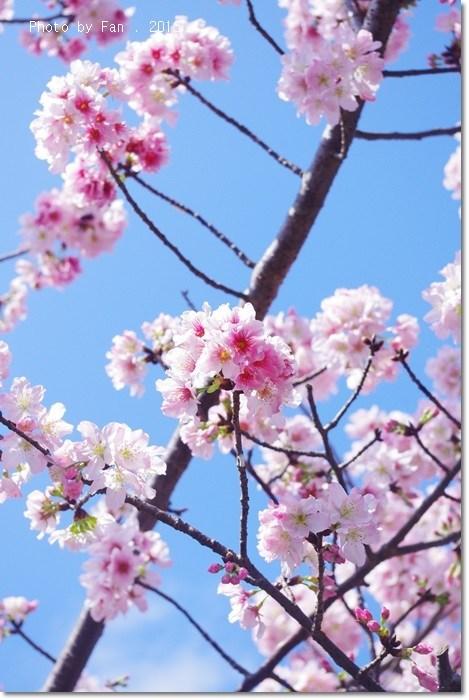 [台北景點]˙賞花就到陽明山。櫻花 ♥ 杜鵑 ♥ 海芋接續放送 @小環妞 幸福足跡