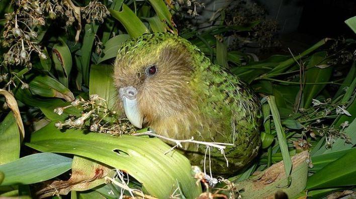 Green Kakapo resting peacefully in its nest.