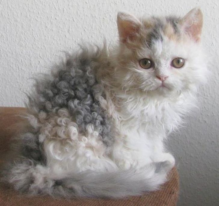18 Poodle Cats Who'll Take Over Your Heart With Their Curls