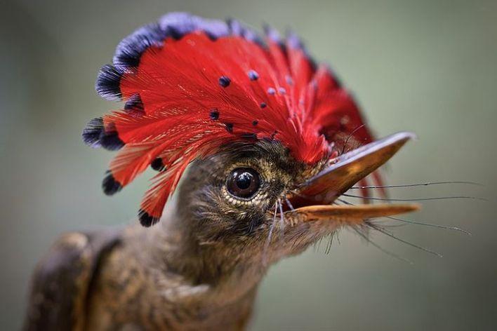 Adorable Amazonian Royal Flycatcher